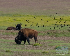 Birds and Bison