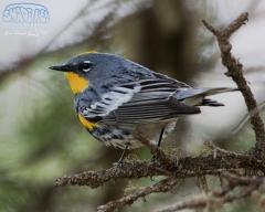 YellowRumpedWarbler