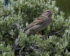 Brewer's Sparrow