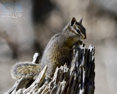 Merriam's Chipmunk