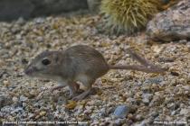 Probable Desert Pocket Mouse