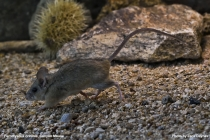 Canyon Mouse
