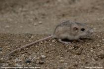 Palm Springs Little Pocket Mouse