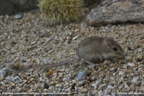 Probable Long-Tailed Pocket Mouse