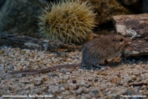 Spiney Pocket Mouse