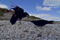 Clarion Raven