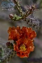 Cholla Cactus Flower