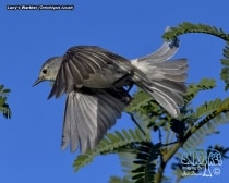 Lucy's Warbler