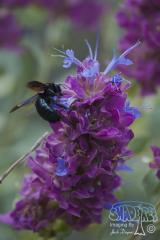 Purple Desert Sage