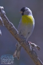 Lawrence's Goldfinch