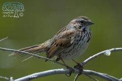 Song Sparrow