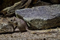 Northwest Baja Pocket Mouse