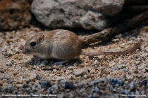 Desert Pocket Mouse