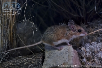 North American Deer Mouse