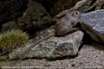 Northwest Baja Pocket Mouse