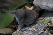 Ornate Shrew