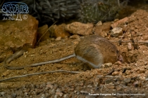 Panamint Kangaroo Rat