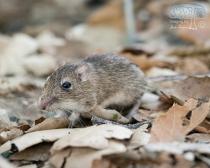 San Diego Pocket Mouse