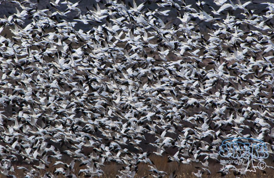 Snow Geese Flight