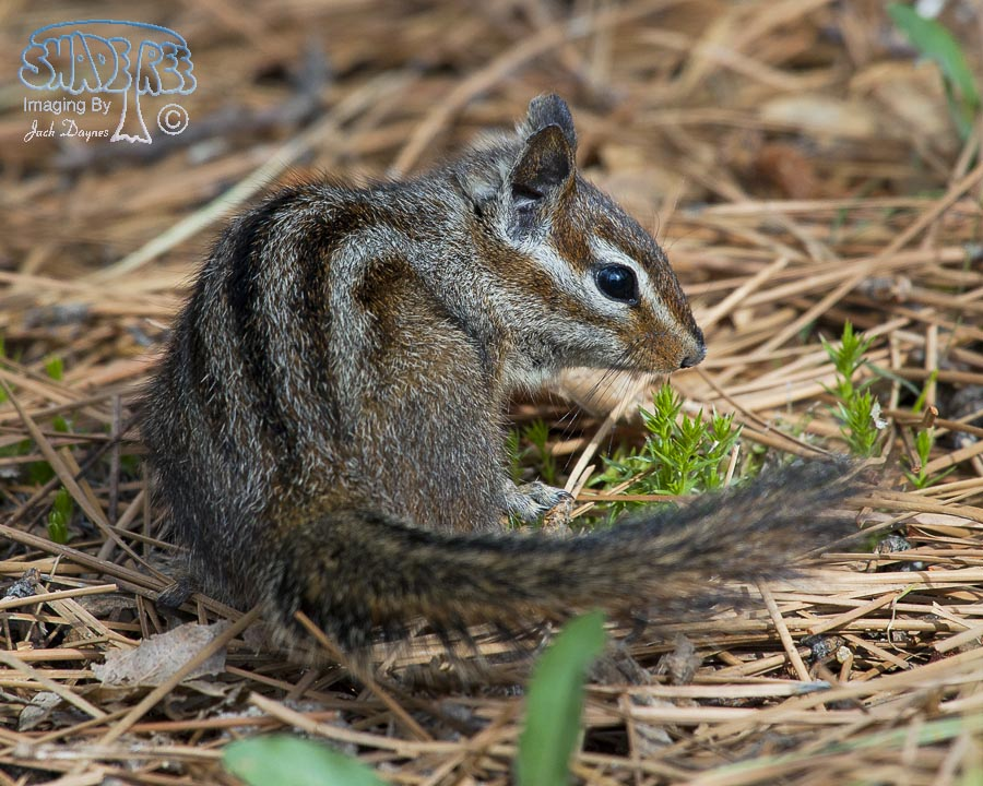 Merriam's Chipmunk - Neotamias merriami