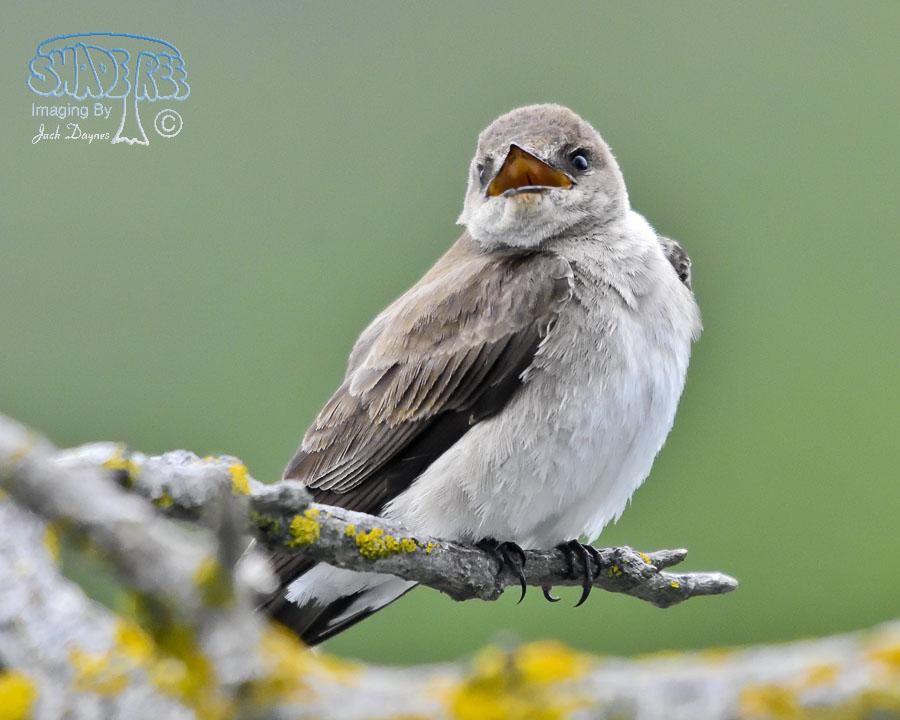 Northern Rough-Winged Swallow - Stelgidopteryx serripennis