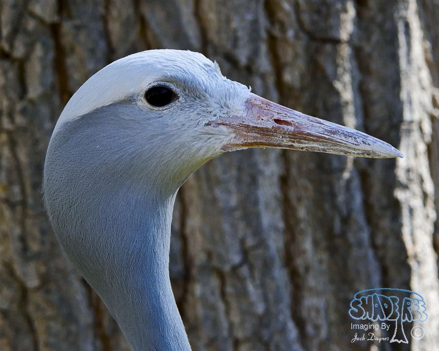 Blue Crane - Anthropoides paradiseus