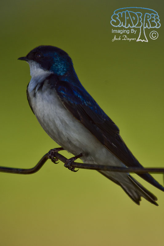 Tree Swallow - Tachycineta bicolor
