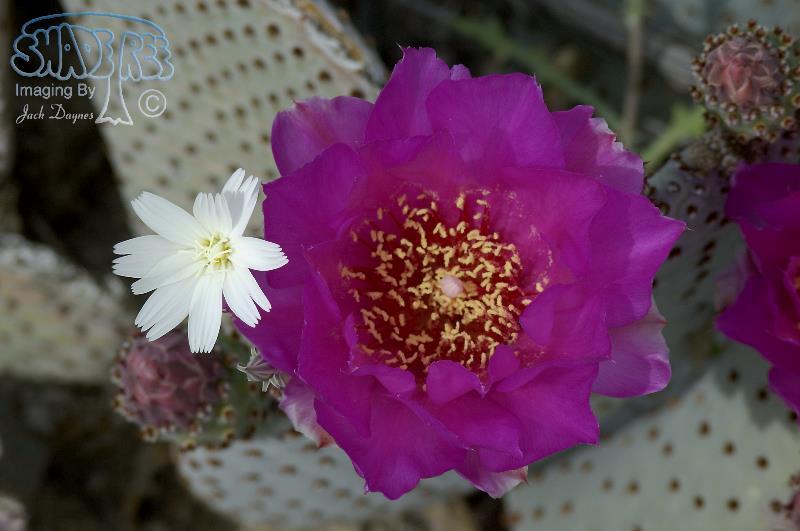 Beavertail Cactus - Opuntia basilaris