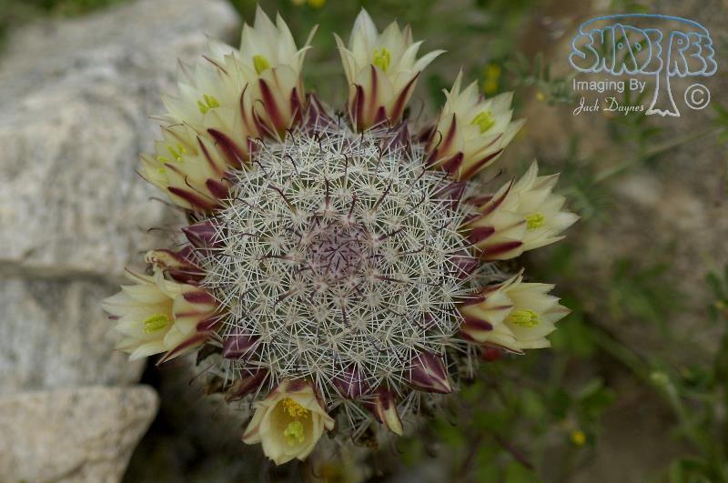 Fishhook Cactus - Mammillaria dioica