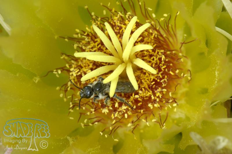 Barrel Cactus - Ferocactus cylindraceus
