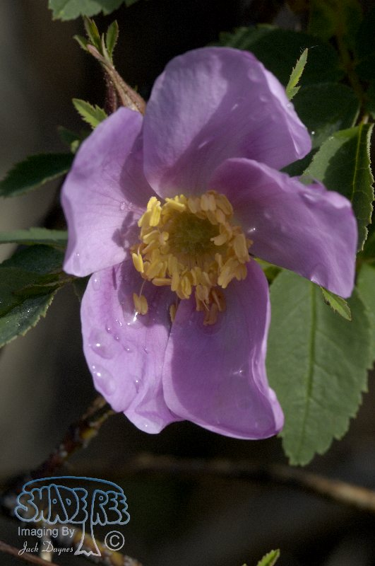 Prickly Rose - Rosa acicularis