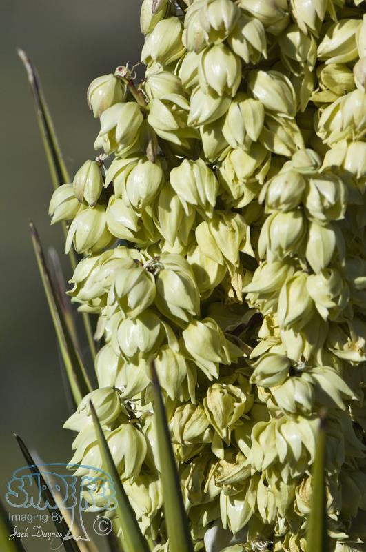 Chaparral Yucca - Hesperoyucca whipplei
