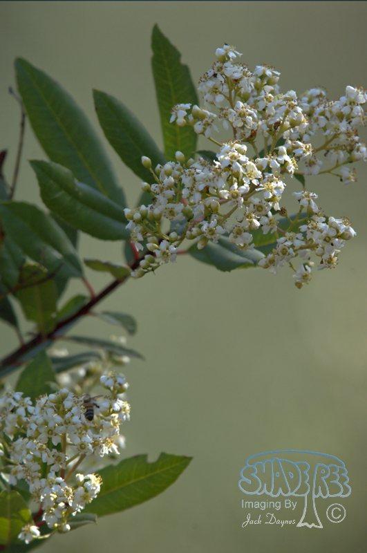 Toyon - Heteromeles arbutifolia