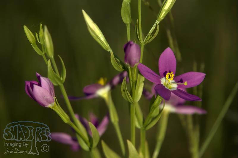 Canchalagua - Centaurium venustrum