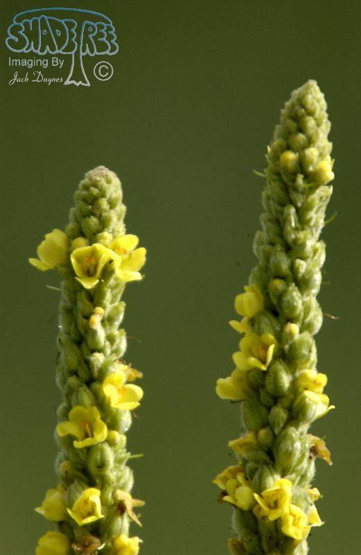 Common Mullen Flower - Verbascum thapsus