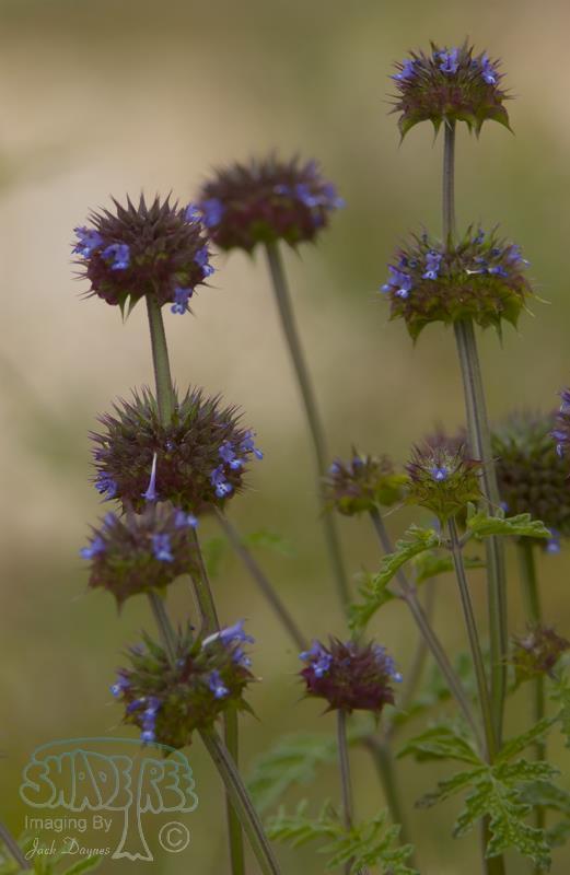 Chia Sage - Salvia columbariae