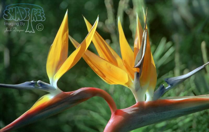 Bird of Paradise - Strelitzia reginae