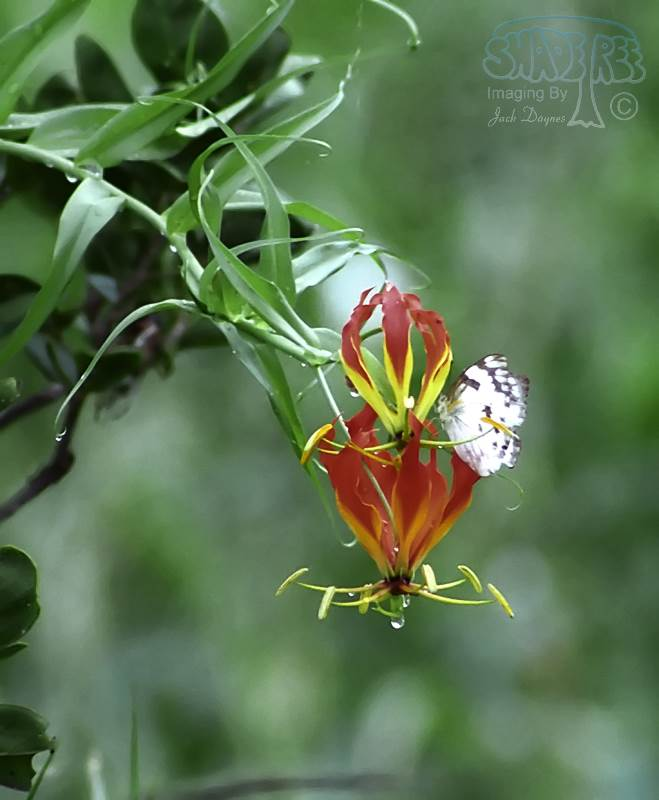 Flame Lilly - Gloriosa superba