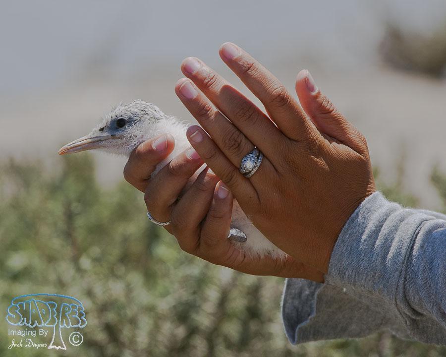 Elegant Tern - Thalasseus elegans