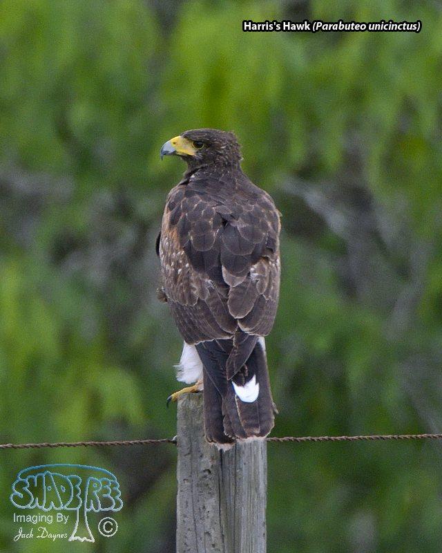 Harris's Hawk - Parabuteo unicinctus
