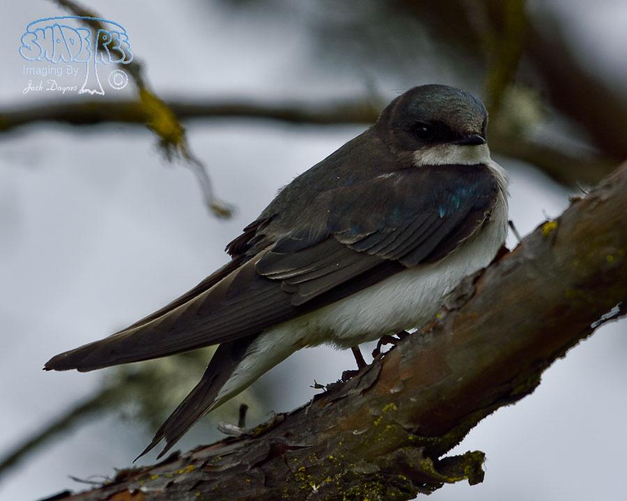 Tree Swallow - Tachycineta bicolor