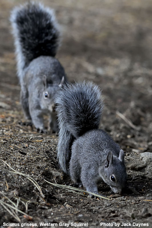 Western Gray Squirrel - Sciurus griseus