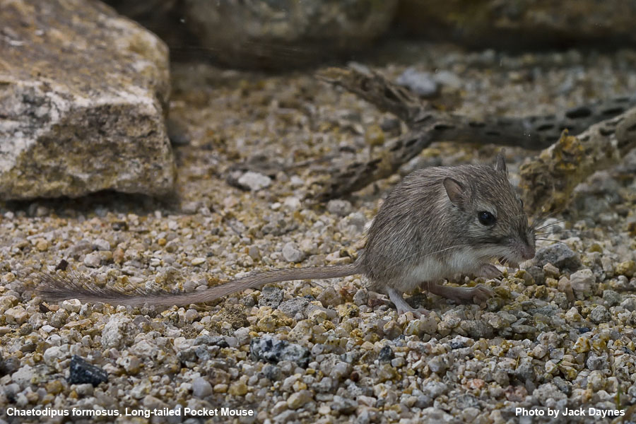 Long-Tailed Pocket Mouse - Chaetodipus formosus