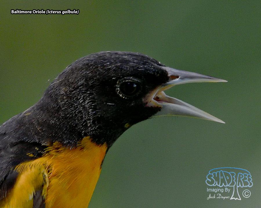 Baltimore Oriole - Icterus galbula