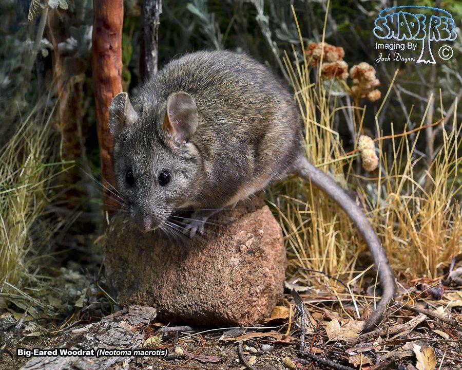 Big-Eared Woodrat - Neotoma macrotis