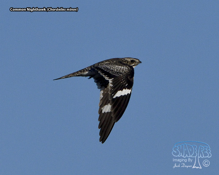 Common Nighthawk - Chordeiles minor