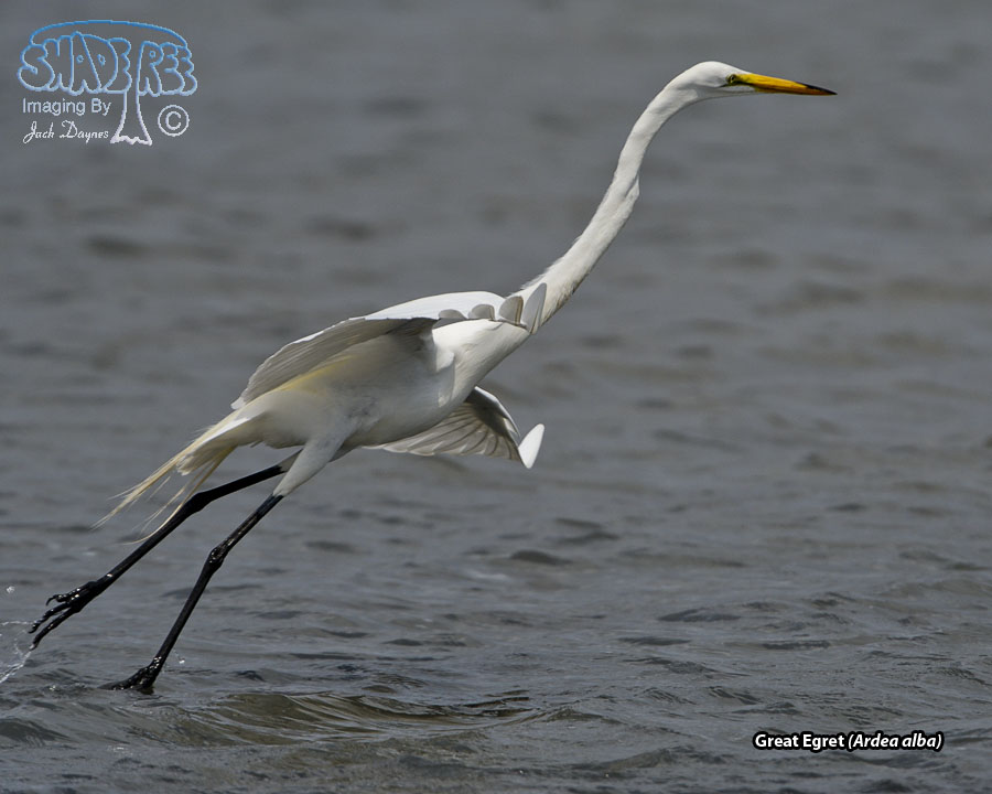 Great Egret - Ardea alba