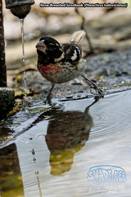 Rose-Breasted Grosbeak - Pheucticus ludovicianus
