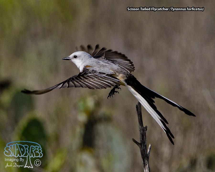 Scissor-Tailed Flycatcher - Tyrannus forficatus