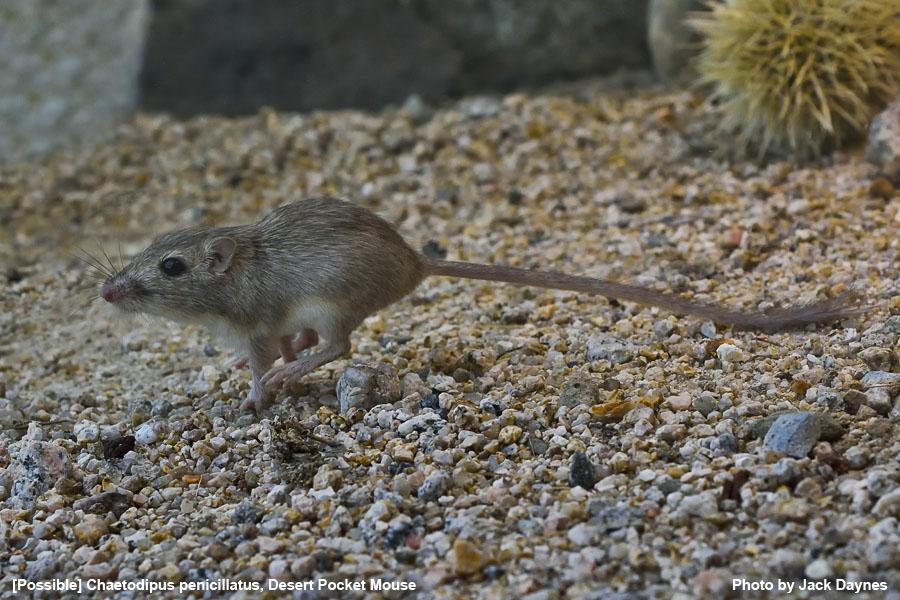 Probable Desert Pocket Mouse - Chaetodipus penicillatus
